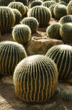 Cactus. Globe shaped cactus with long thornsctus Royalty Free Stock Photography
