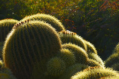 Cactus glow Royalty Free Stock Photos