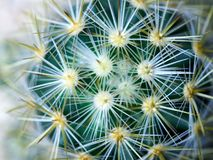 Cactus. Golden barrel cactus. Little cactus in the sunshine morning royalty free stock images