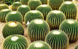 Cacti. With the common name Golden Barrel Cactus or Golden Ball Cactus (species name: Echinocactus grusonii Stock Photo