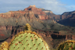 Cactus at the Grand Canyon Royalty Free Stock Image