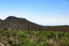 Cactus grand de Saguaro se développer dans le musée de Sonoran-désert photos stock