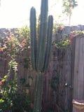 Cactus grand sur une barrière en bois images libres de droits