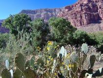 Cactus in grande canyon Fotografia Stock