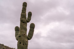 Cactus grande del Saguaro con el fondo nublado Fotografía de archivo libre de regalías