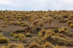 Cactus grande di Cardon che cresce in canyon del cactus nel deserto di Atacama Immagine Stock Libera da Diritti