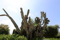 Cactus grande y espinoso fotos de archivo libres de regalías