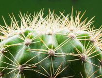 Cactus. And green background in morning light from the window Stock Images
