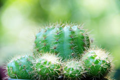 Cactus with green bokeh. Royalty Free Stock Photo