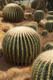 Cactus in green house garden Royalty Free Stock Image