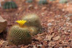 The cactus in green nature  garden. Yellow flower cactus on the pebble. The cactus green nature in the botanical garden Stock Images