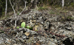Cactus. Green cactus over rocky hill Royalty Free Stock Photo