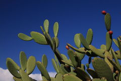 Cactus. Green plant on blue sky Stock Image
