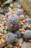 Cactus. Green cactus plant on desert stock photos