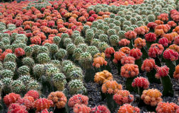 Cactus with Green and Red  color. Large groups of Green and Red cactus Form a beautiful photo.Taking in a park Royalty Free Stock Image
