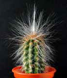 Cactus, green, tall, with long white hairs sprouting. A cactus, thorny, spiky, spines from areole, with long straggling white hairs royalty free stock photos