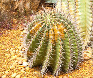 Cactus. Green cactus white big thorns Stock Photo