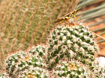 Cactus. Green cactus white big thorns Royalty Free Stock Image