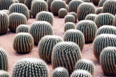 Cactus in greenhouses Royalty Free Stock Images