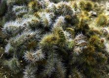 Cactus on ground Royalty Free Stock Photo