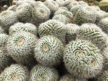 Cactus. Group of cactus Royalty Free Stock Photos