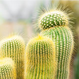 Cactus. Group of the green cactus Royalty Free Stock Photo