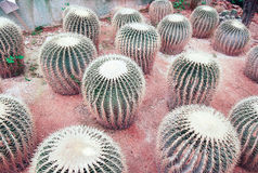 Cactus. A group of cactus plants, Malaysia Royalty Free Stock Photography