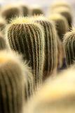 Cactus. Group of cactus up close Stock Photography