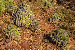Cactus growing in the desert royalty free stock photography