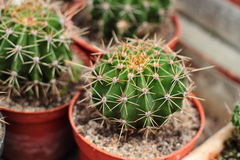 Cactus growing in pots Stock Photography
