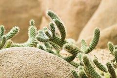 Cactus growing on rocks Royalty Free Stock Image