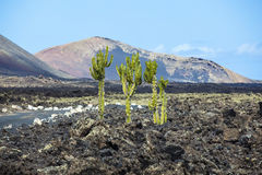 Cactus growing on volcanic soil in Lanzarote Stock Images