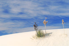 Cactus growing in the White Sand Dunes Royalty Free Stock Images