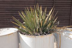 Cactus grown in a creative flower garden - a white barrel from under the engine oil.  royalty free stock image