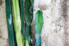 Cactus and grunge wall Royalty Free Stock Photography