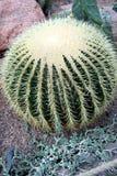 Cactus, grusonii de Echinocactus Fotografía de archivo libre de regalías
