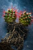 Cactus Grusonii With Roots Stock Image