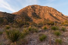 Cactus in Guadalupe Mountains stock afbeelding