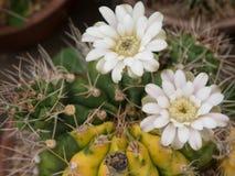 Cactus (Gymnocalycium) Immagini Stock