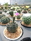 Cactus Gymnocalycium In The Pot Royalty Free Stock Photo