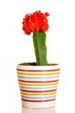 Cactus - Gymnocalycium mihanovichii - variegata Stock Photography