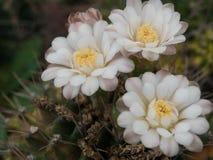 Cactus (Gymnocalycium). Cactus plant in the farm Royalty Free Stock Photos