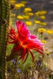 Cactus híbrido de la antorcha Imagen de archivo libre de regalías