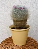 Cactus - hahniana di mammilaria Fotografie Stock