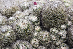 Cactus with hair Royalty Free Stock Photography