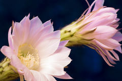 The cactus has blossomed royalty free stock photography