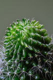 Cactus Head. Close-Up Isolated Stock Images