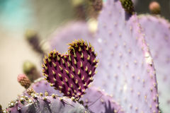 Cactus heart. Heart shaped Prickly Pear cactus