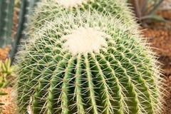 Cactus hermoso Fotos de archivo
