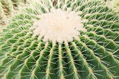 Cactus hermoso Foto de archivo libre de regalías